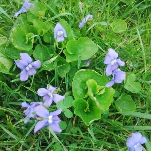 Violets 2014-05-14