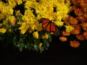 Monarch Butterfly -- David Kitz