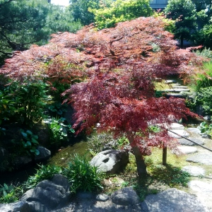 Kanazawa Red Maple -- David Kitz