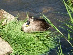 Mother Duck, Nagakute, Japan -- David Kitz