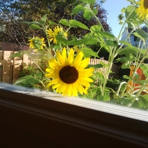 Peeking Sunflower -- David Kitz