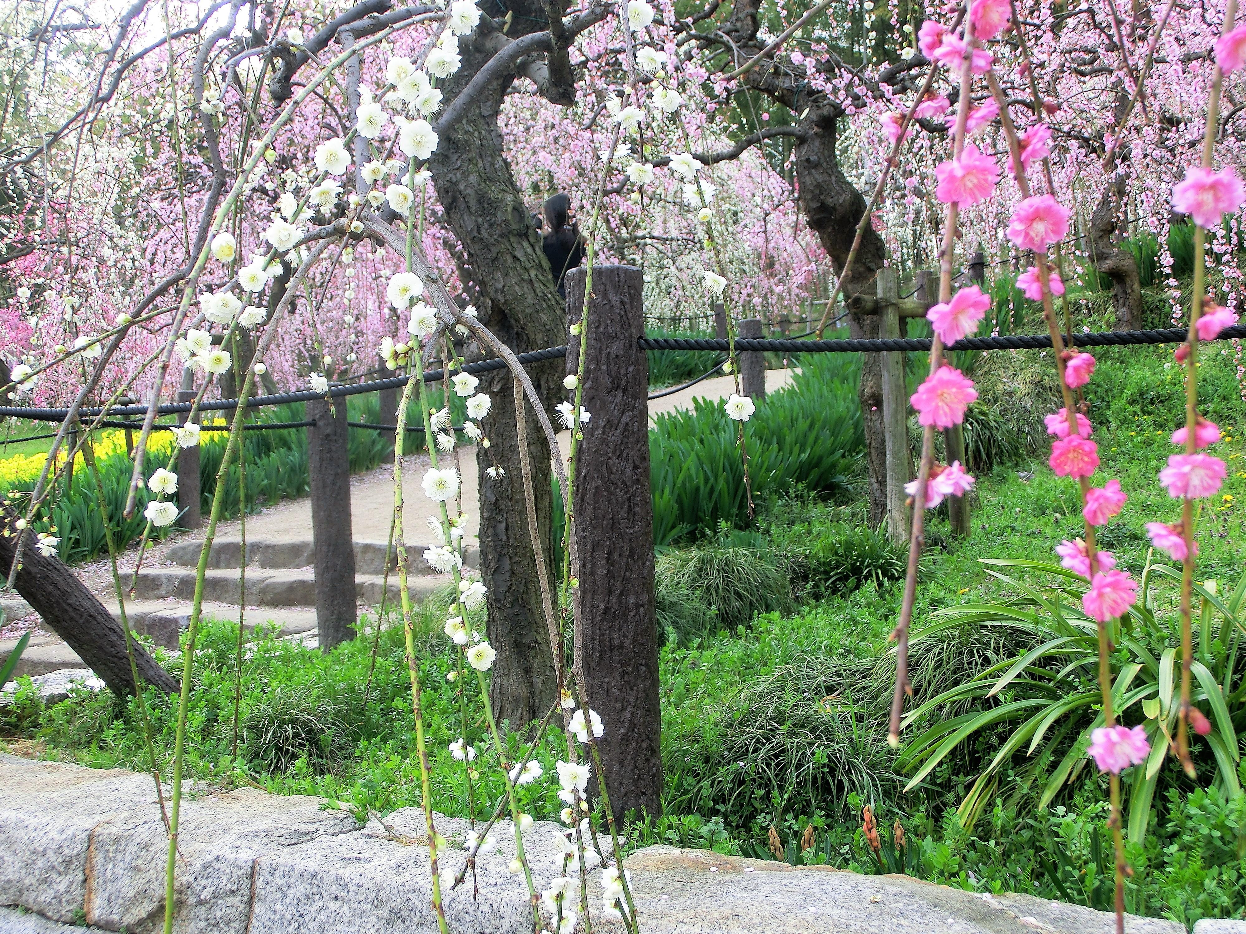 M Taylor Plum blossoms 2