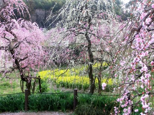 M Taylor Plum blossoms