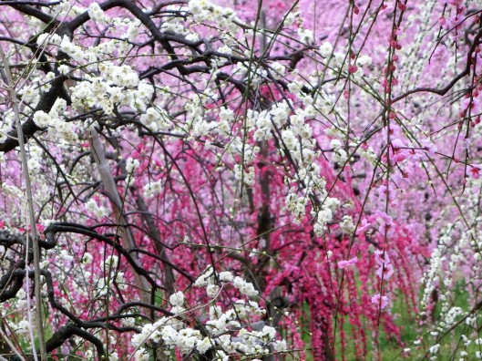 Plum Blossoms3