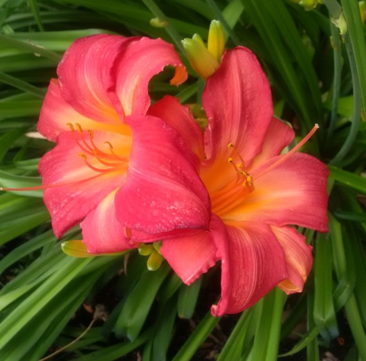 2 Lilies 20160718