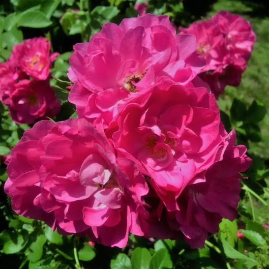 20170620 rose