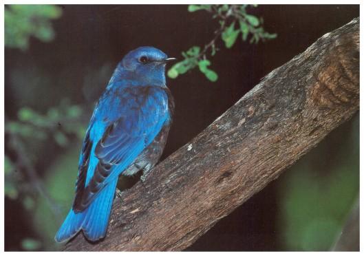 Bluebird 001 (2)