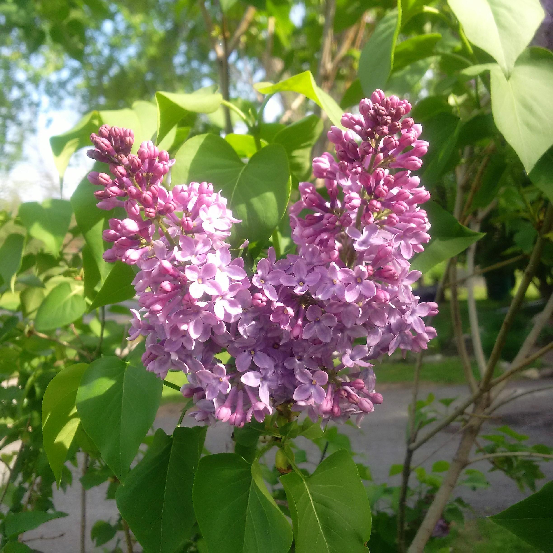 2018-05-21 lilacs