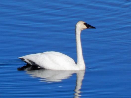 L Kranz Swan