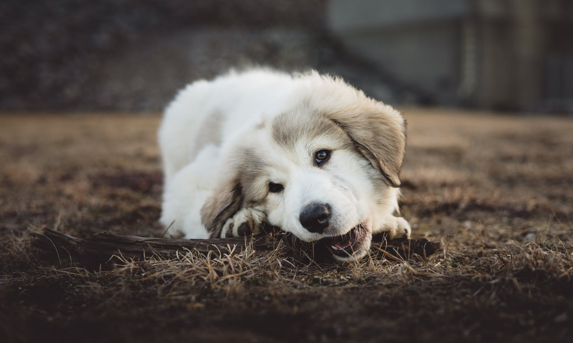 shallow focus photo of long coated white and gray puppy