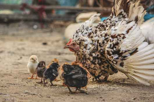 white and black hen beside chicken chicks