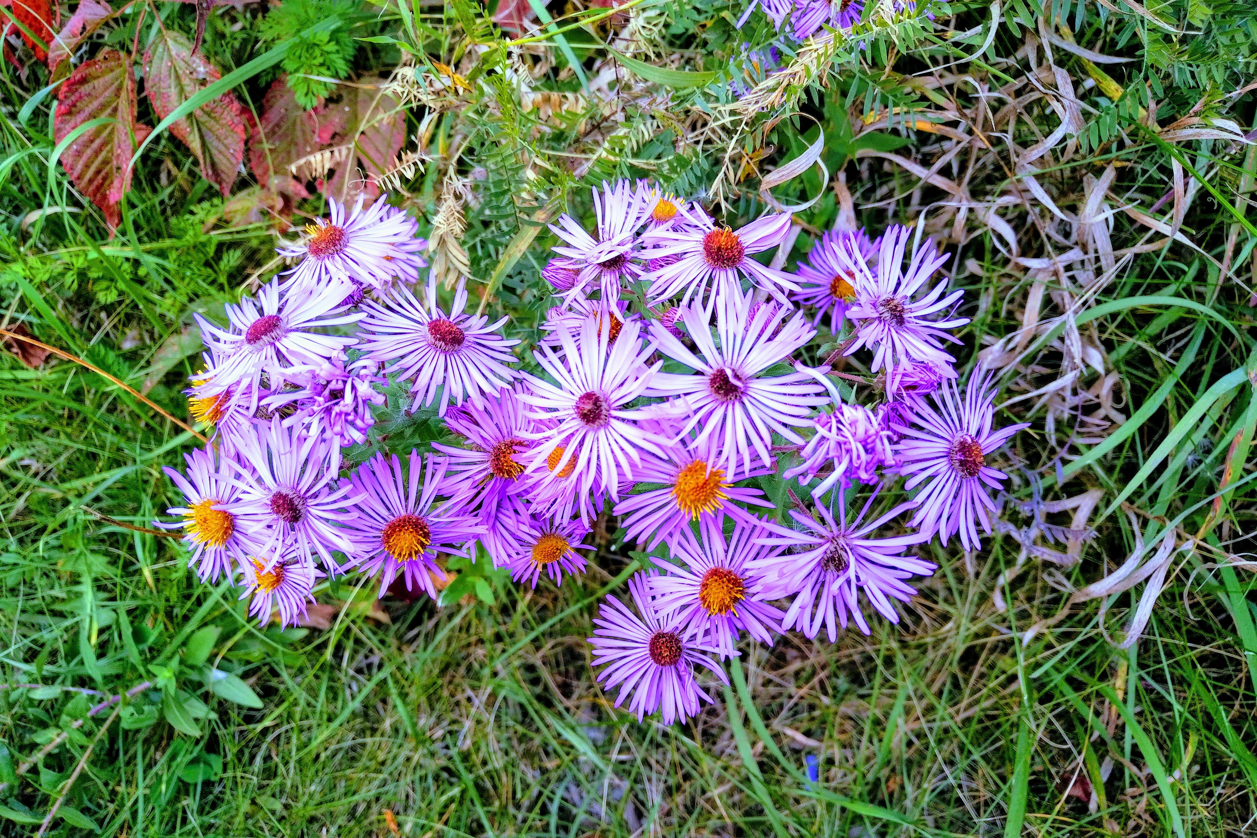 Asters 20200926