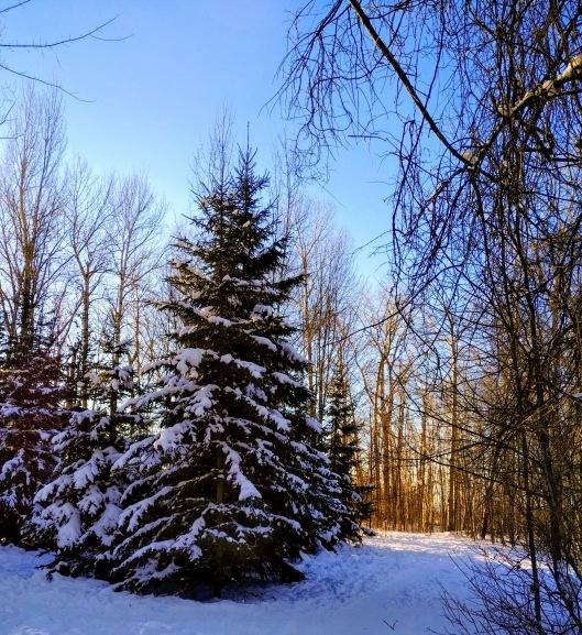 Winter Spruce 2021-01-24