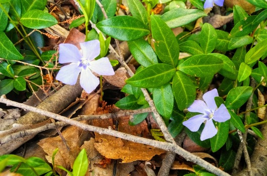 periwinkle-EFFECTS