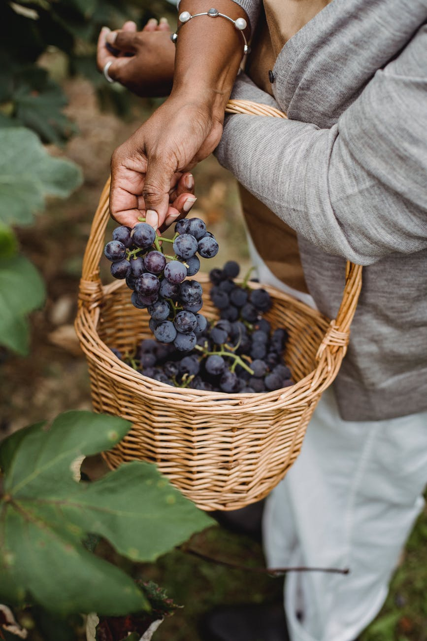crop ethnic harvester picking grapes from vine in countryside